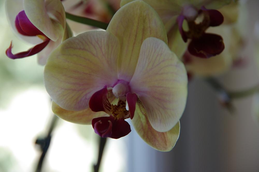 Orchids on kitchen window sill