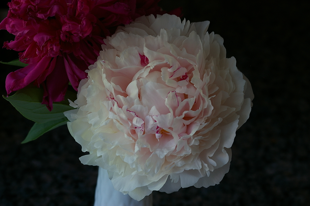 Peony From Montreal