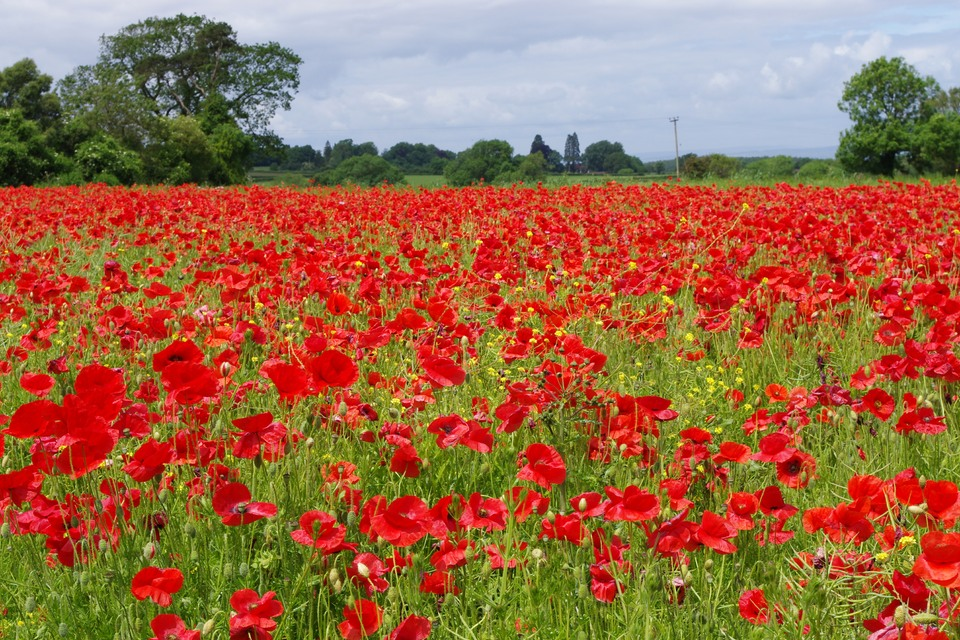 Poppies for Rememberance.