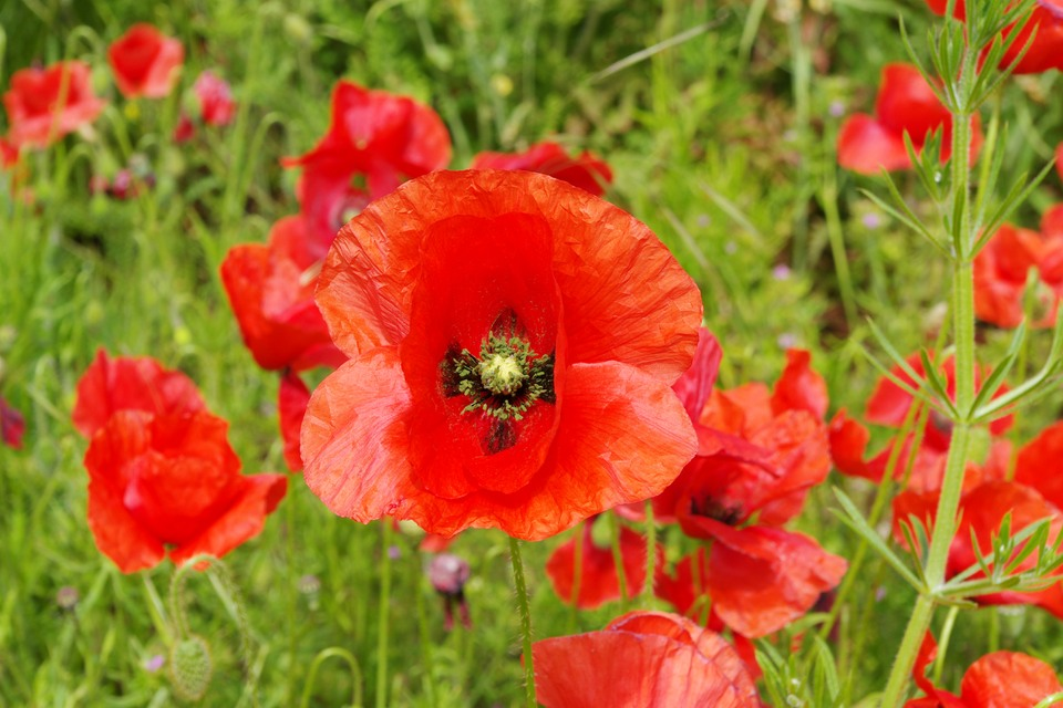 Poppies remember the falllen of 2WW,s.