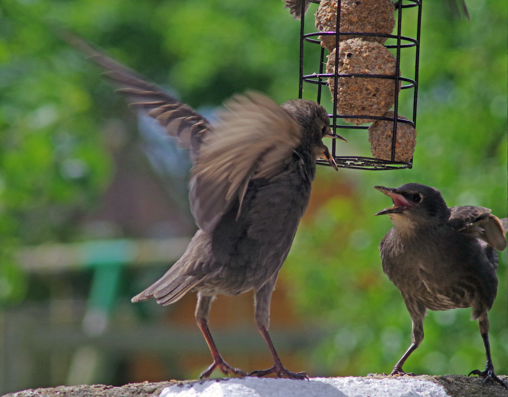 Young Starling's Arguing