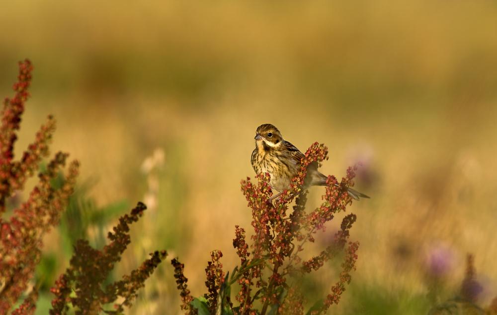 Meadow Pipit at Buckton (Bempton)