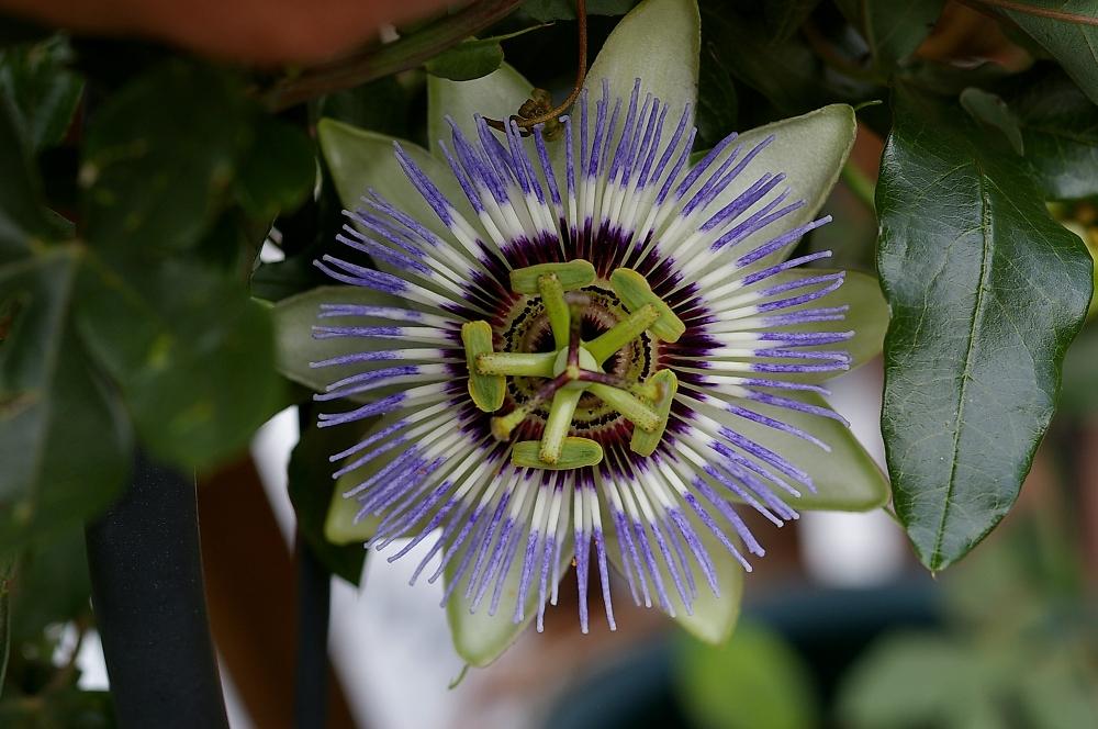 Pasion Flower
