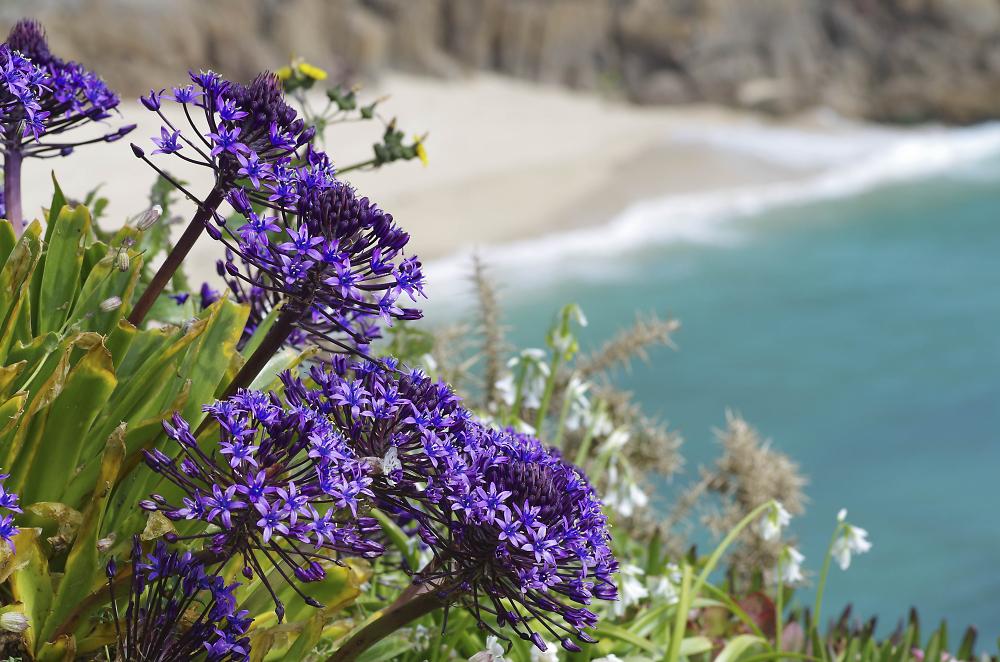 Cornish Coastal Path Flora