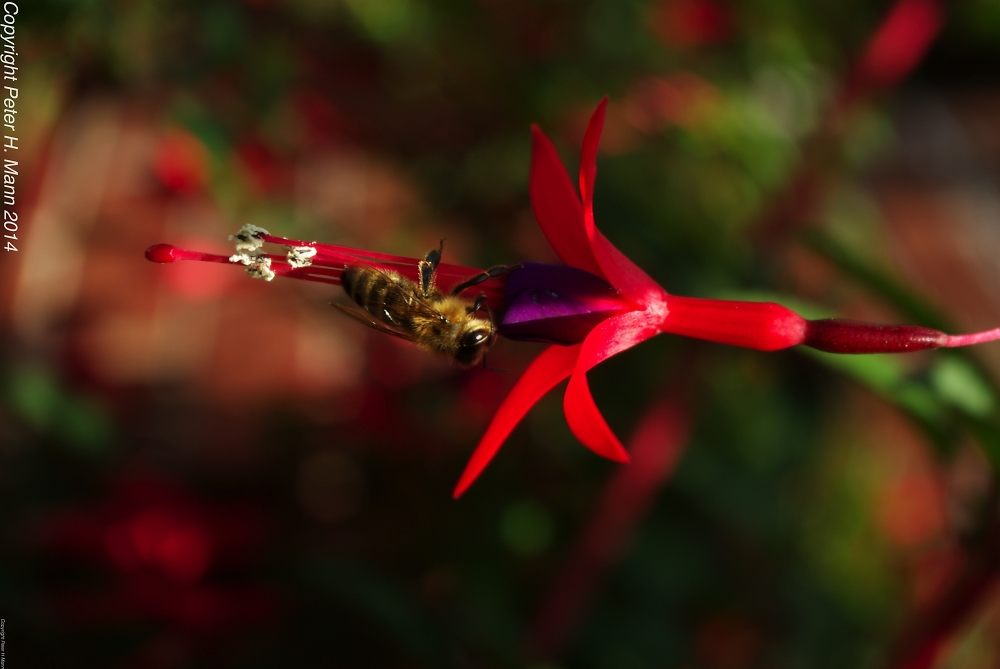 Fuchsia with bee