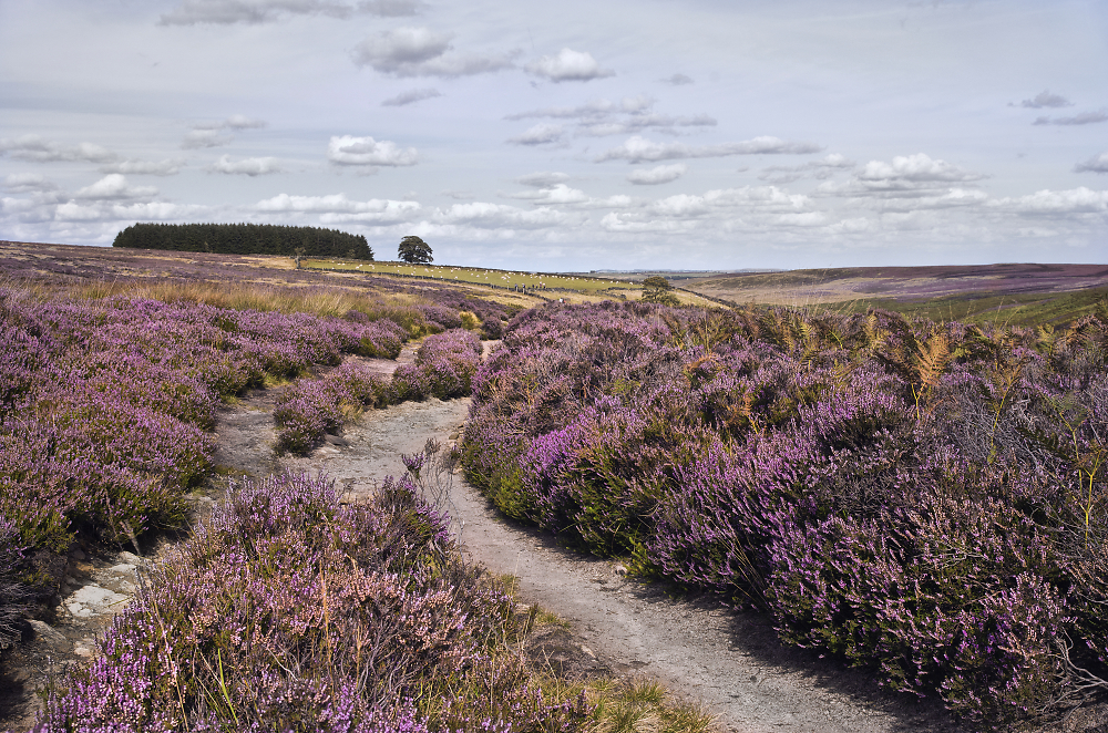 Heather in Bronte Country