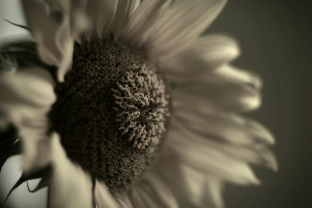 Sunflover III