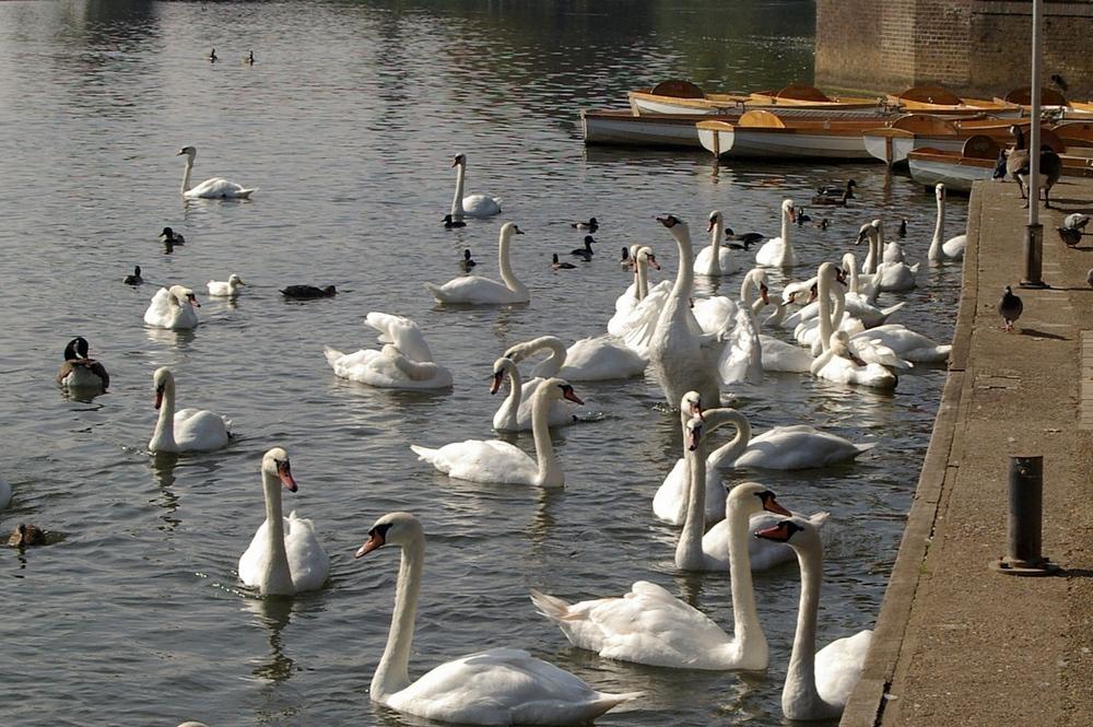 Swans at Stratford on Avon