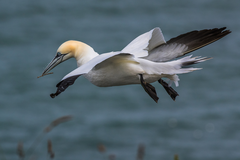 Gannet and Twig