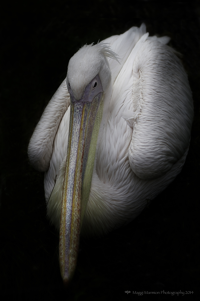 Pretty Pelican