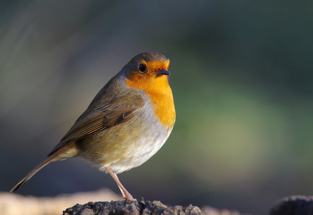 Another Robin.