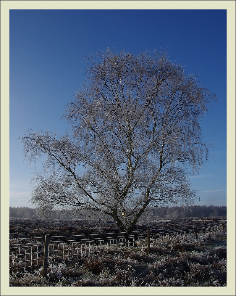 Silver Birch in the frost