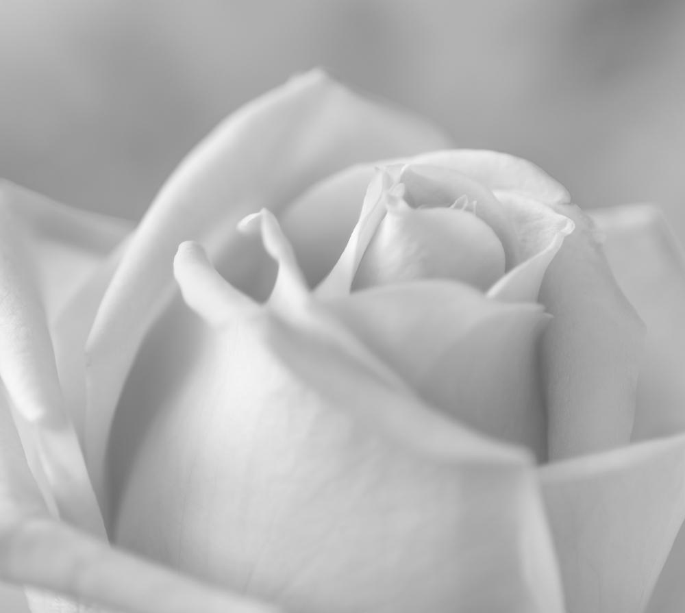 White Rose 2015
