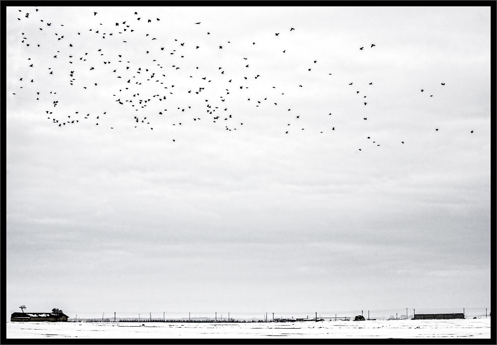 Crows in Flight over the Plain under Snow