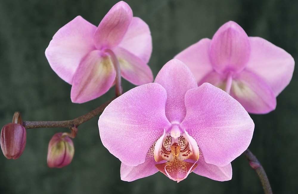 Orchid Beauty 2