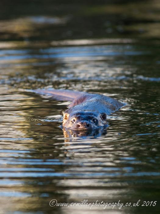 Otter close-up