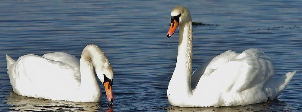 swans - attempt 1