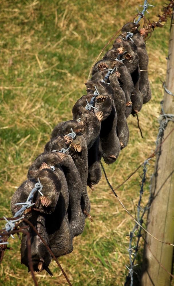 Mole catcher's harvest