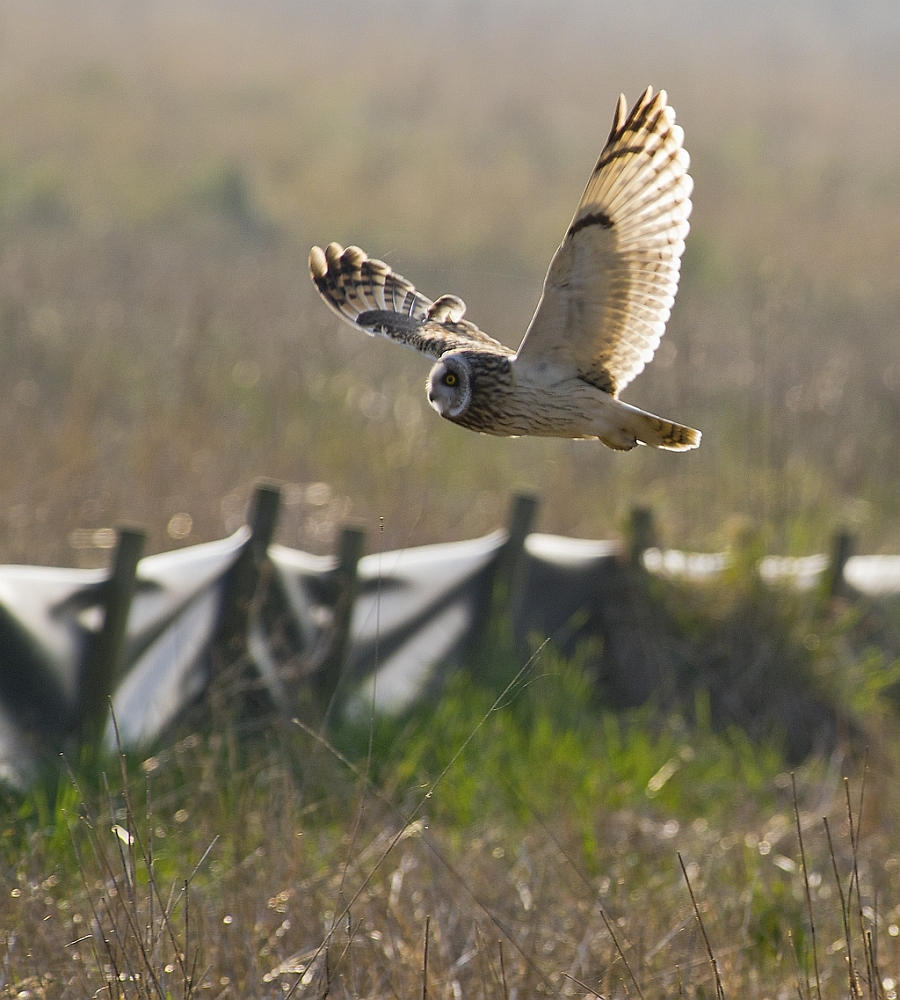 Short Eared Owl in the sun