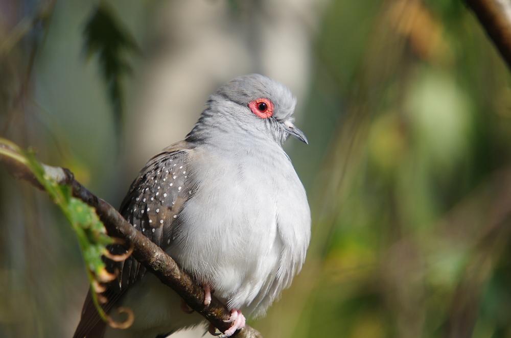 Diamond Dove shot taken in Mt Evelyn, Victoria.
