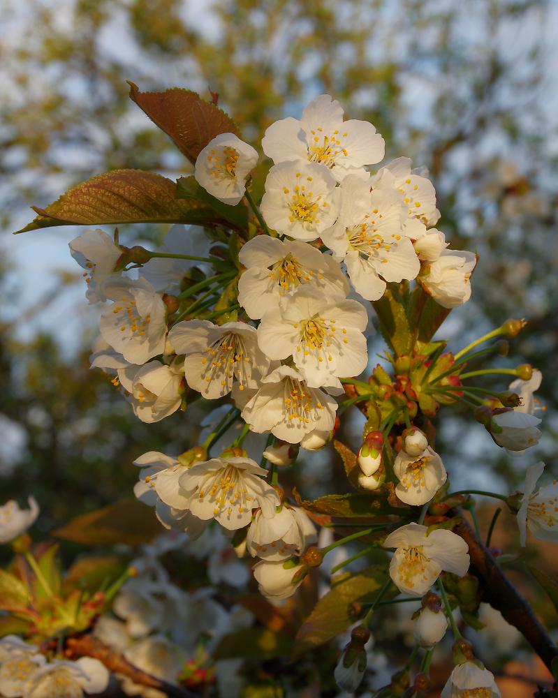 Evening Blossom.