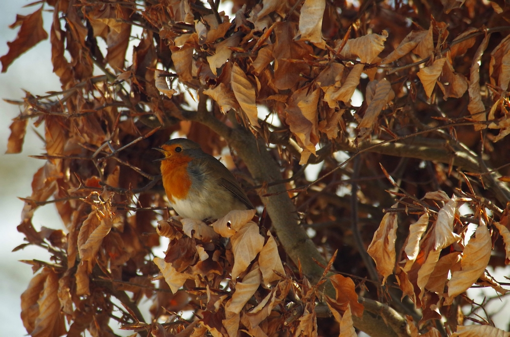 Robin in a beech tree