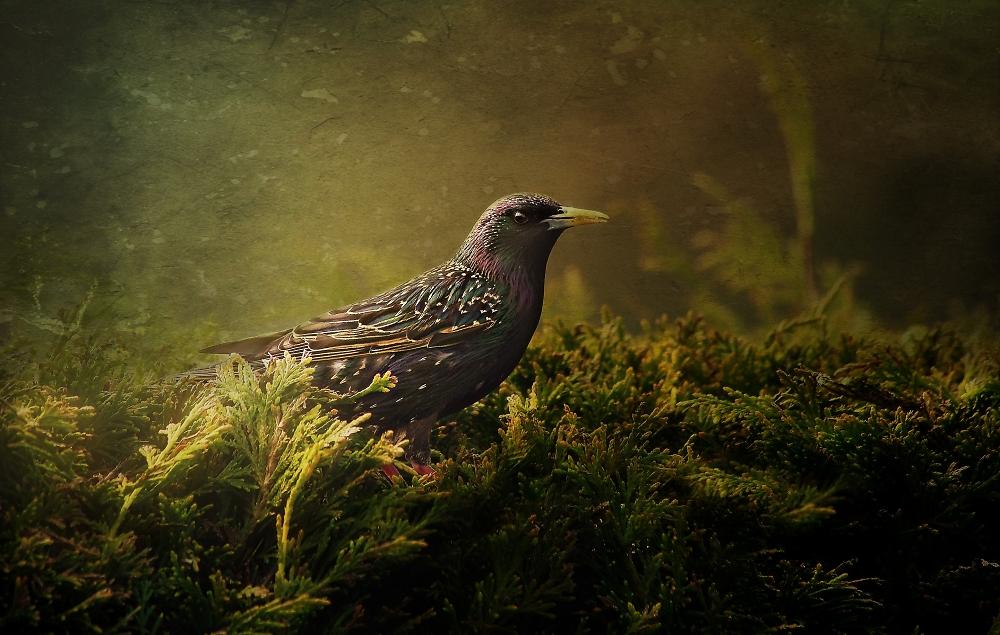 Starling on Leylandii