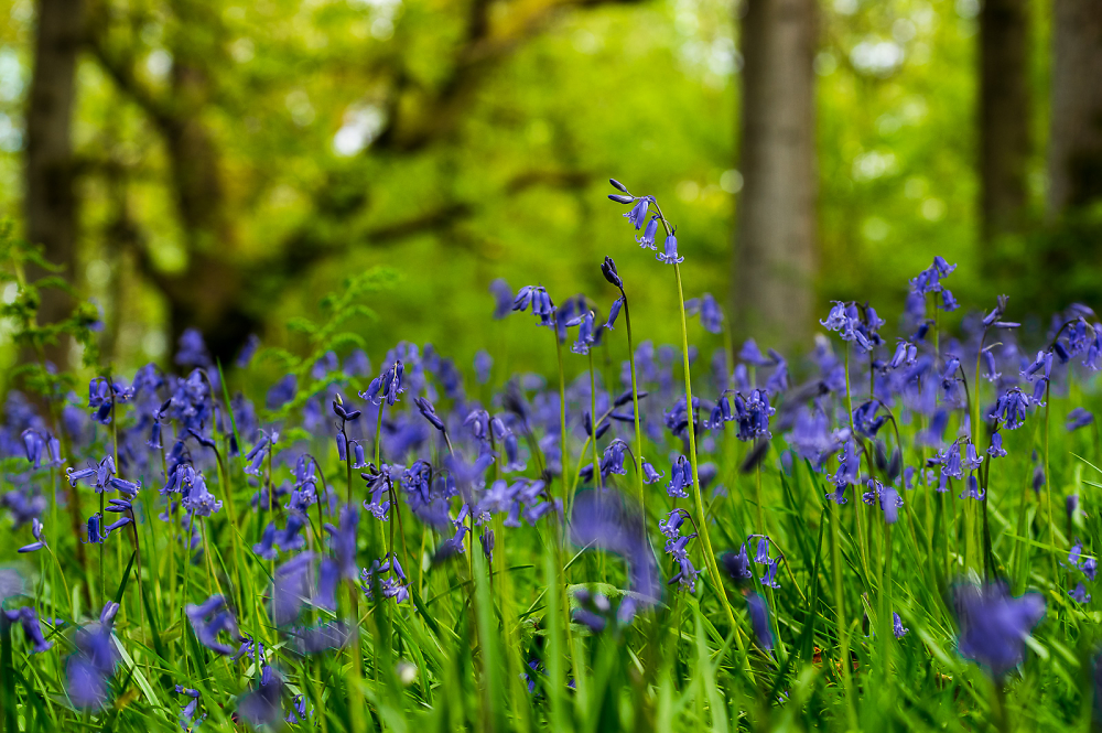Bluebells at Nymans