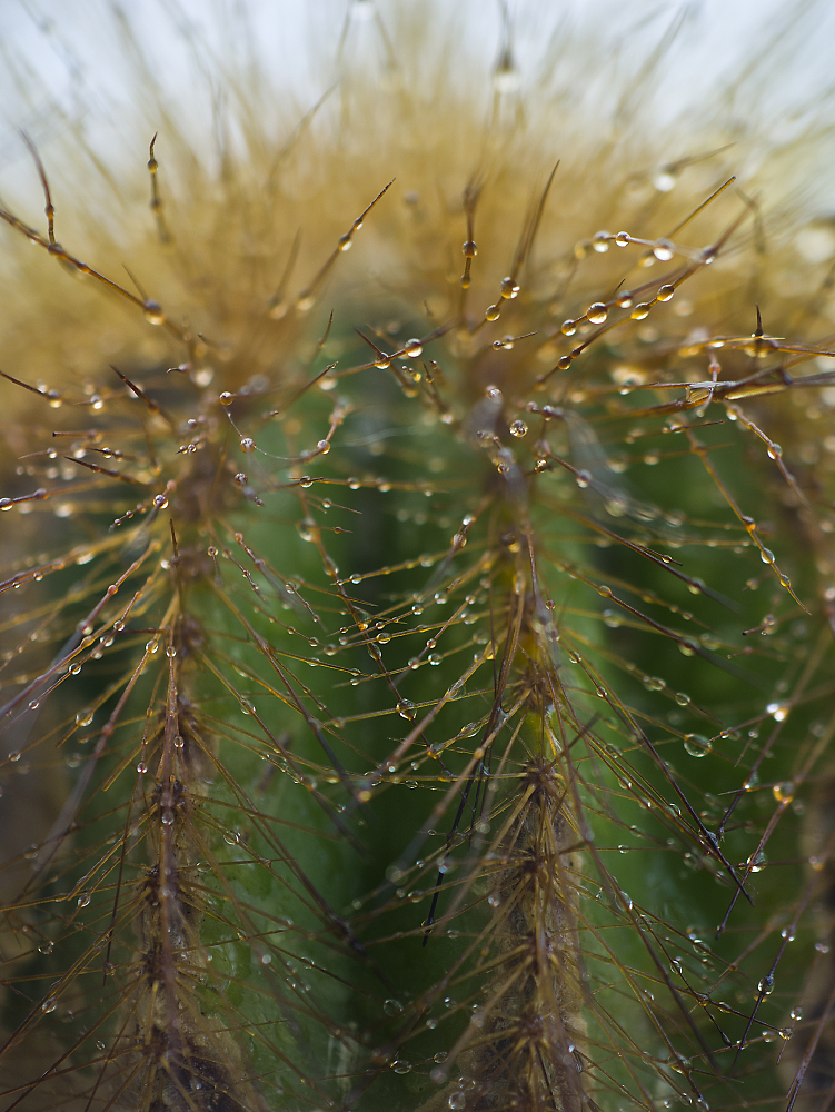 Cactus with Water Droplets
