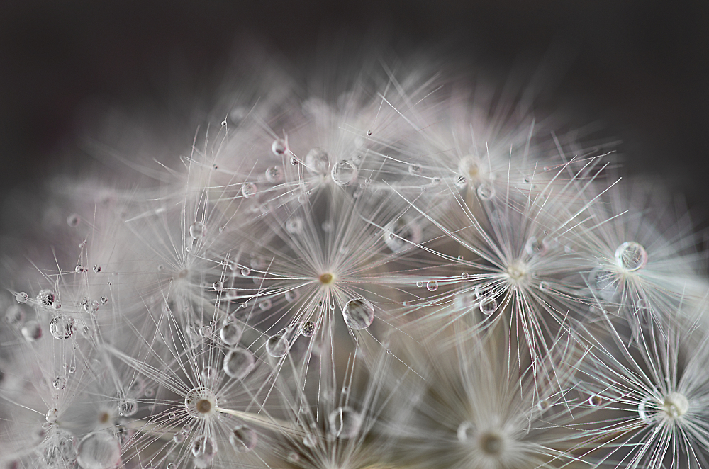 Dandelion with Water Droplets