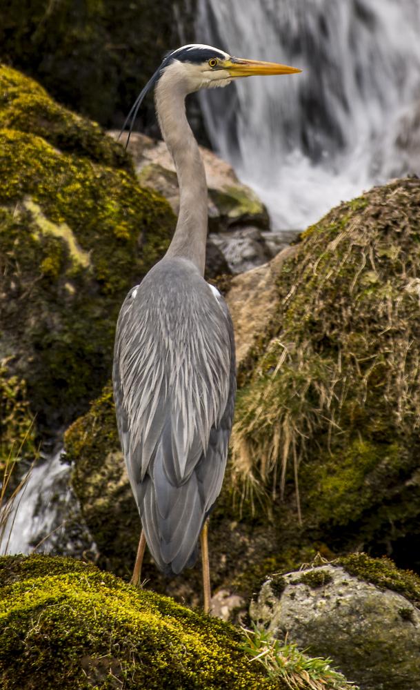 Grey Heron on Helvellyn