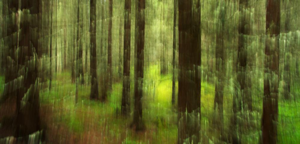 Shaken Spruce Forrest