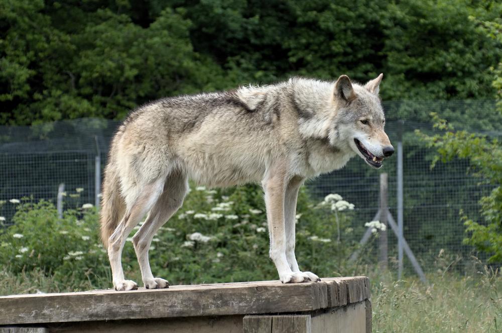 An English Wolf
