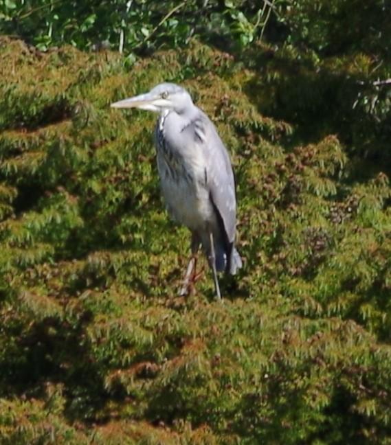 heron on stilts