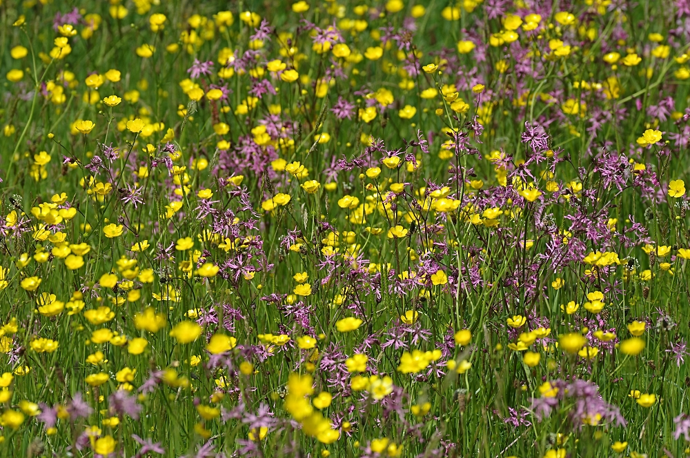 Ragged Robin and Meadow Buttercups