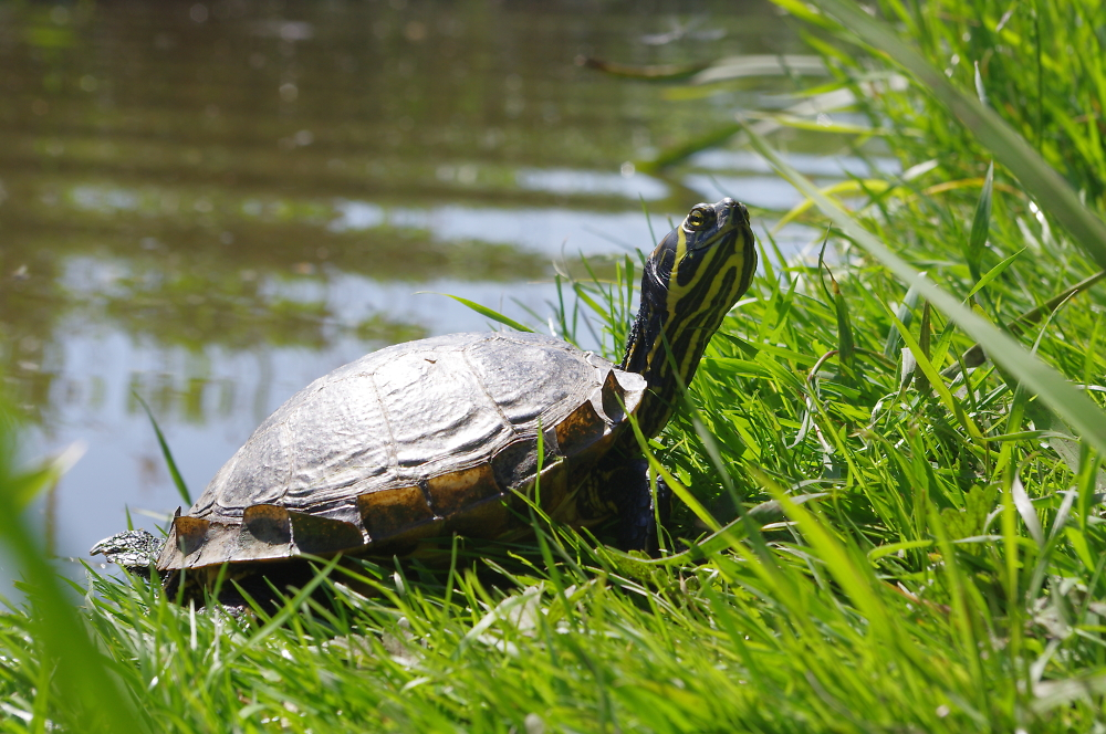Turtle in our canals