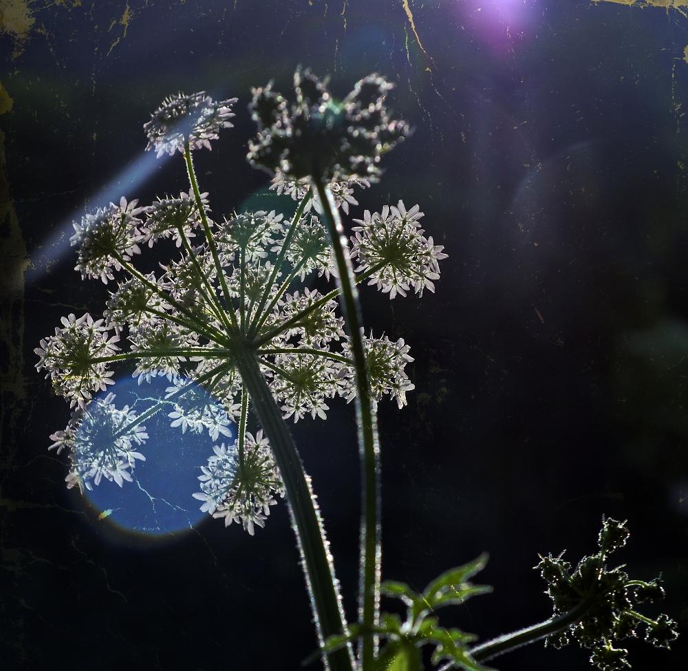 Backlit Giant Hogweed