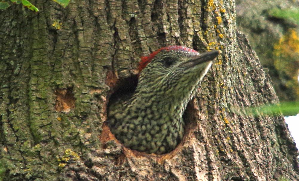 juvenile greenwoodpecker
