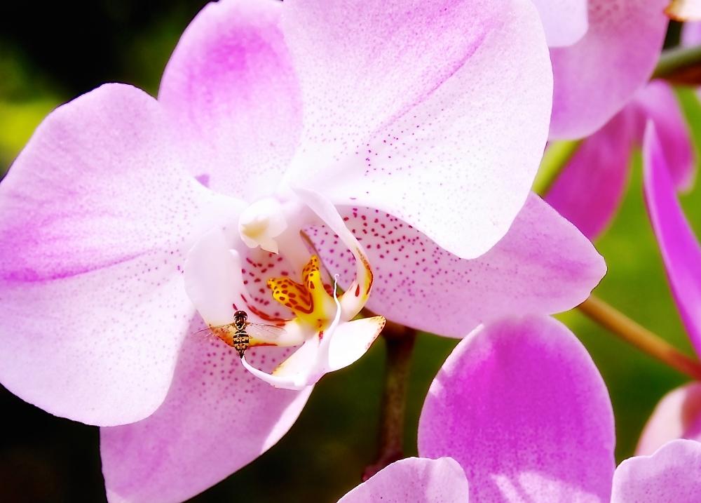 Orchidaceae:  Bee My Guest!