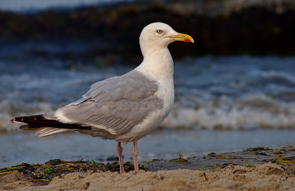 Gull at Studland, Dorset