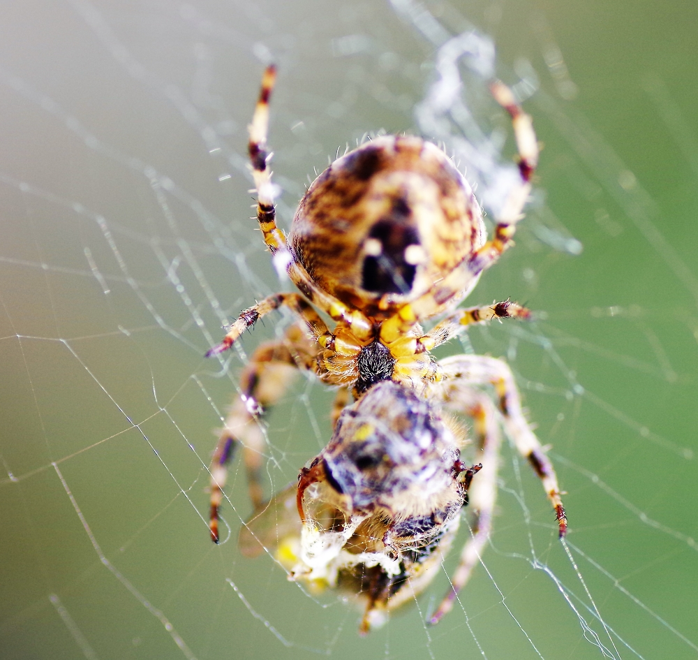 wasp in spiders web