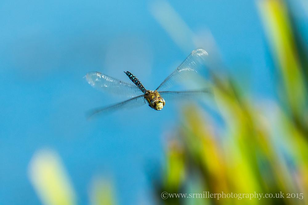 Dragonfly in flight 2
