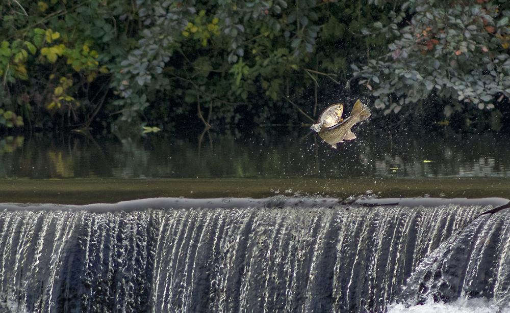 Leaping salmon, River Wear