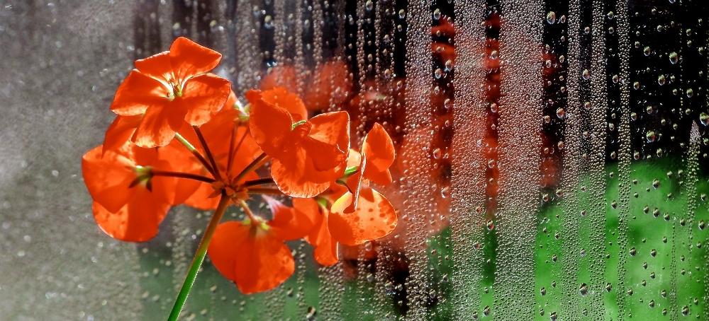 Geranium Rain