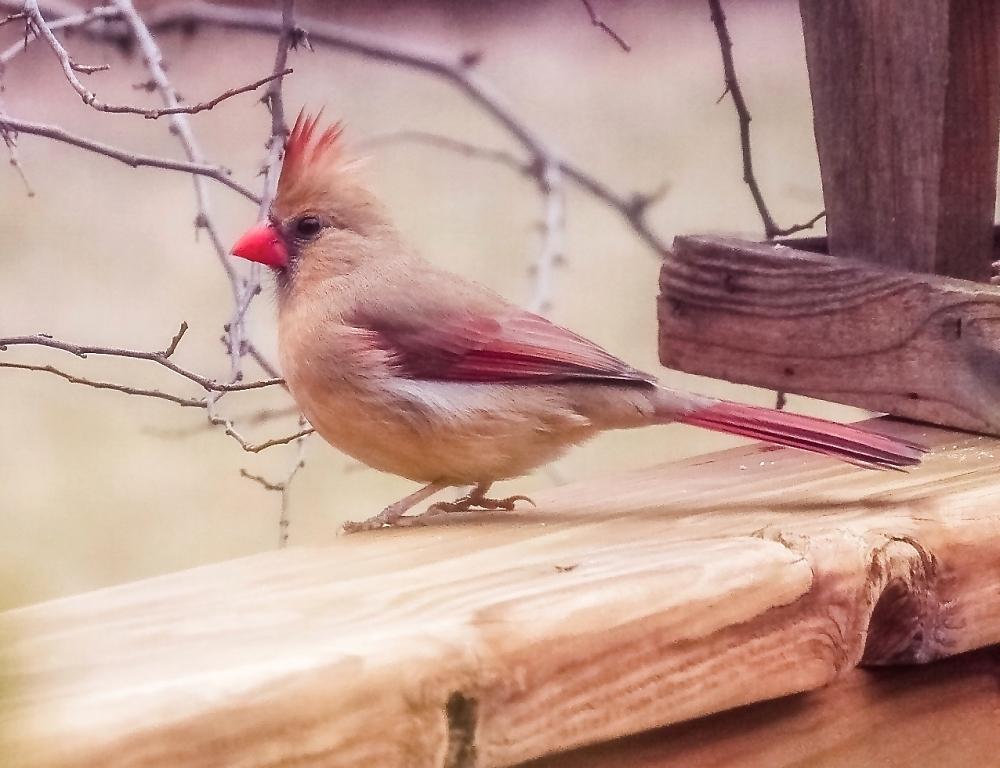 Companion Cardinal