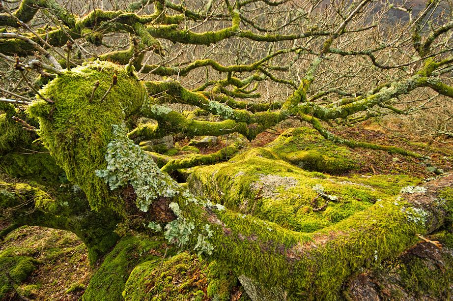 Mel Tor Oak