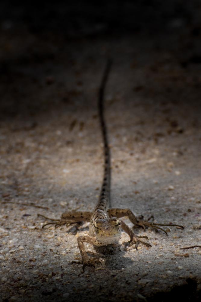 Koh Samui Lizard