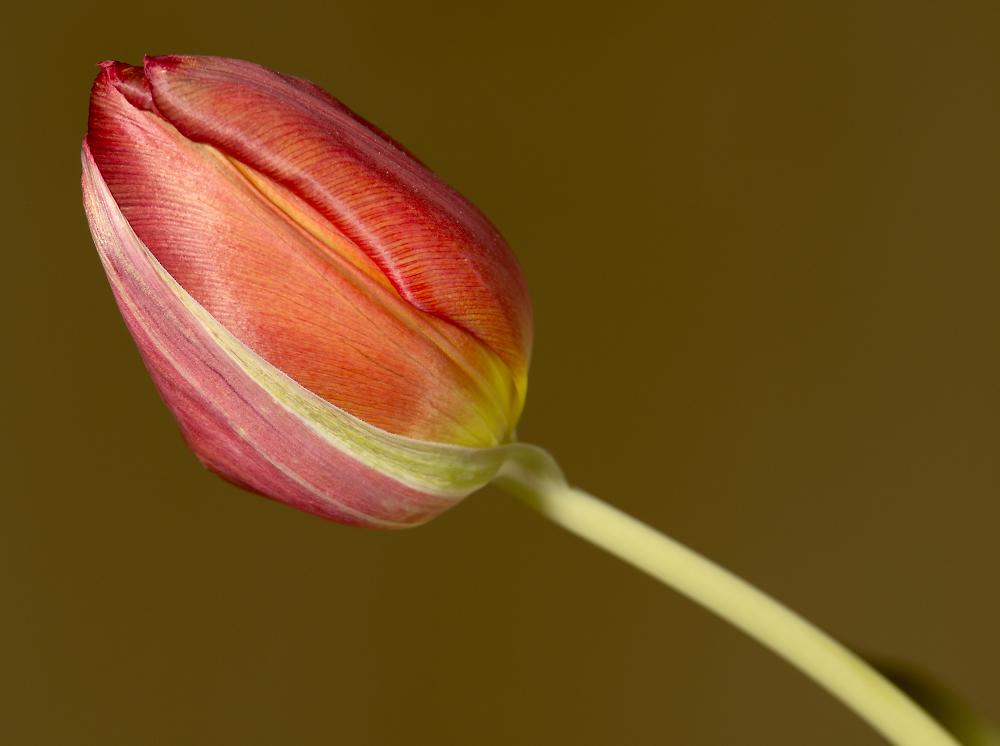 Tulip by flash
