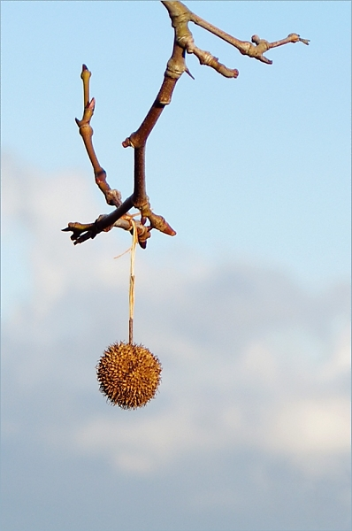 plane tree fruit
