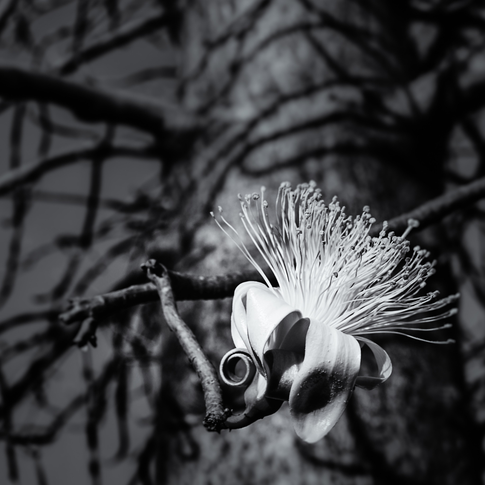 Gadawon (Boab) tree in flower